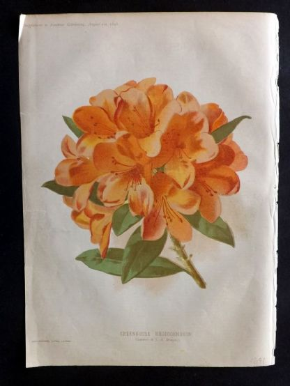 Amateur Gardening 1896 Antique Botanical Print. Greenhouse Rhododendron.
